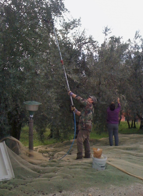 Agostino uses a power rake to harvest the olives last November.