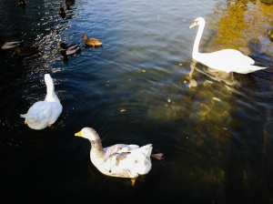 Swans and ducks greet us